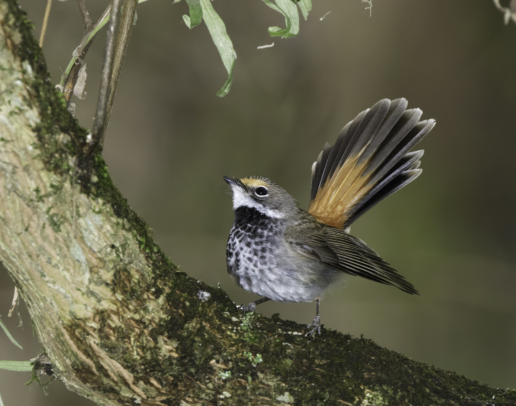 Rufous Fantail (Image ID 45008)