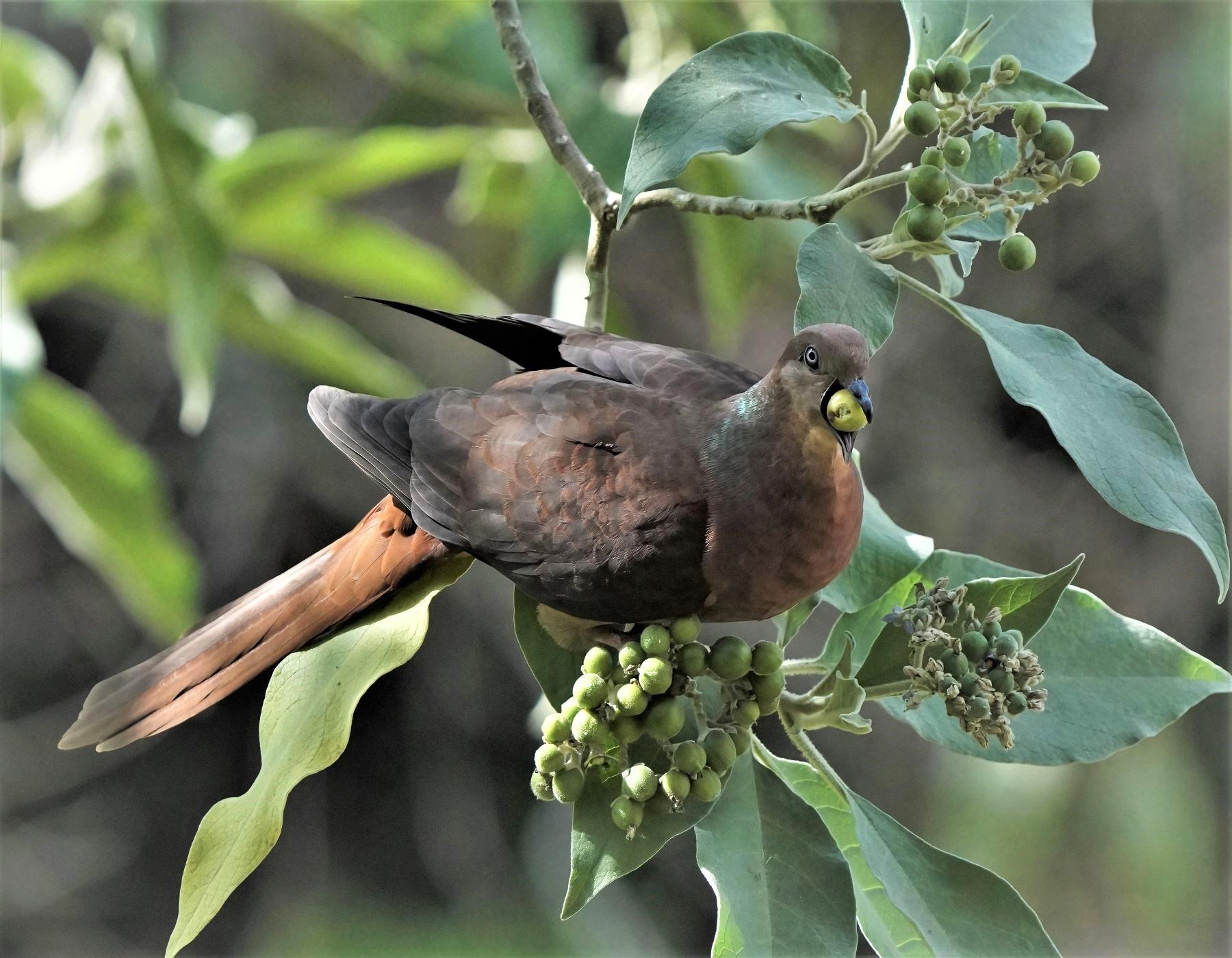 Brown Cuckoo-Dove (Image ID 44739)