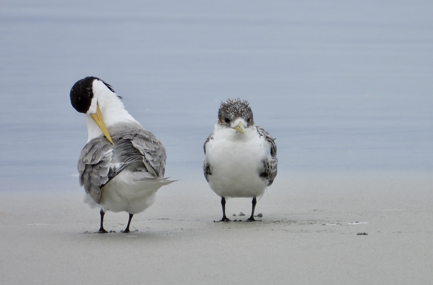 Greater Crested Tern (Image ID 44740)