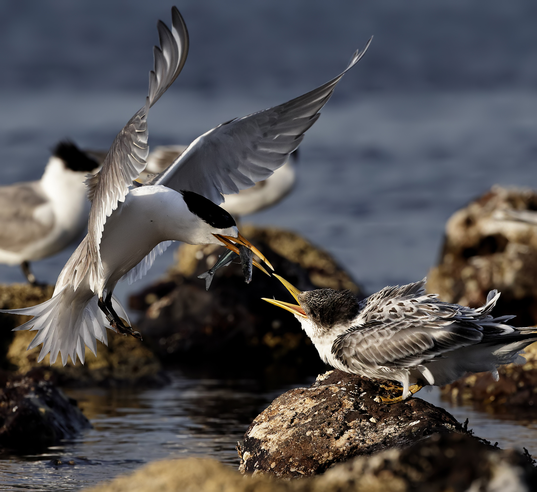 Greater Crested Tern (Image ID 44575)