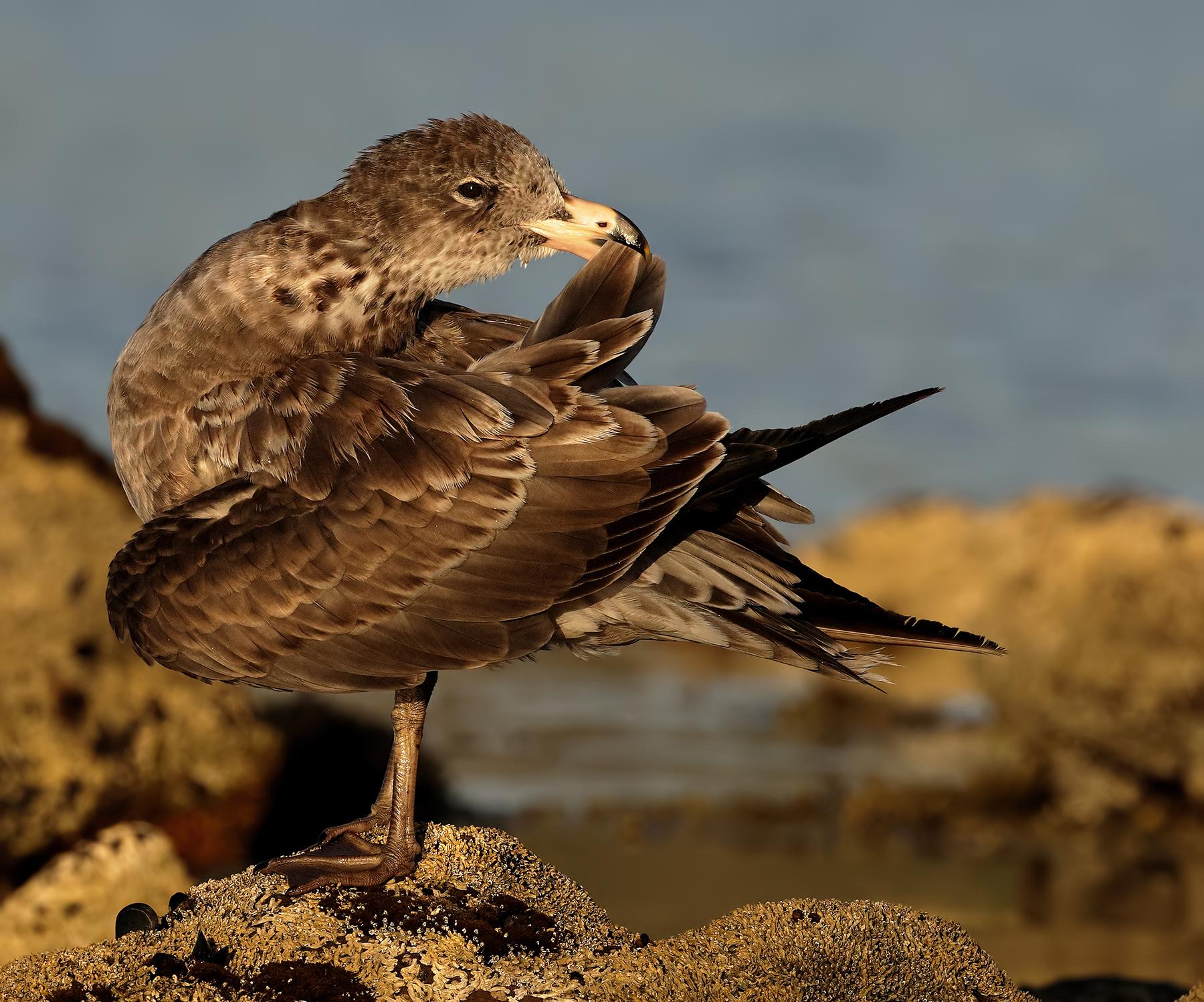 Pacific Gull (Image ID 44577)