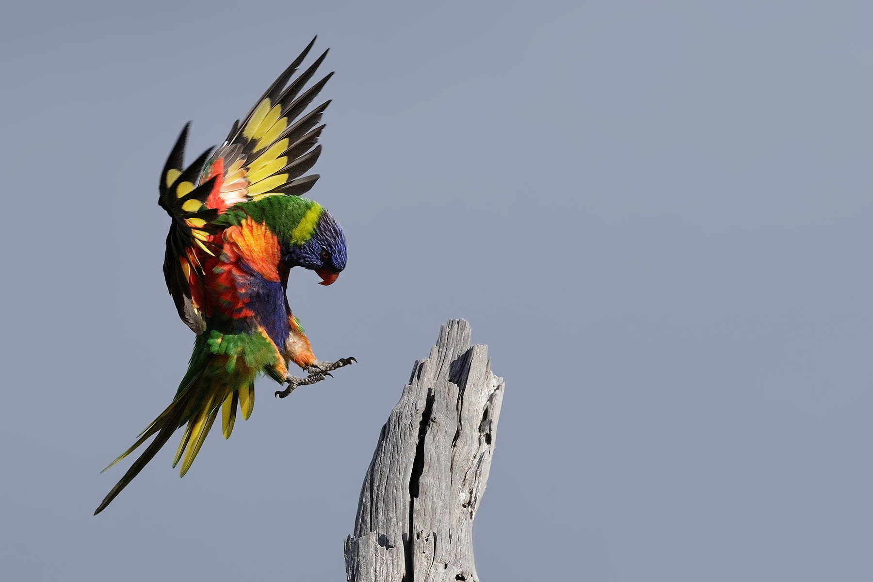Rainbow Lorikeet (Image ID 44578)