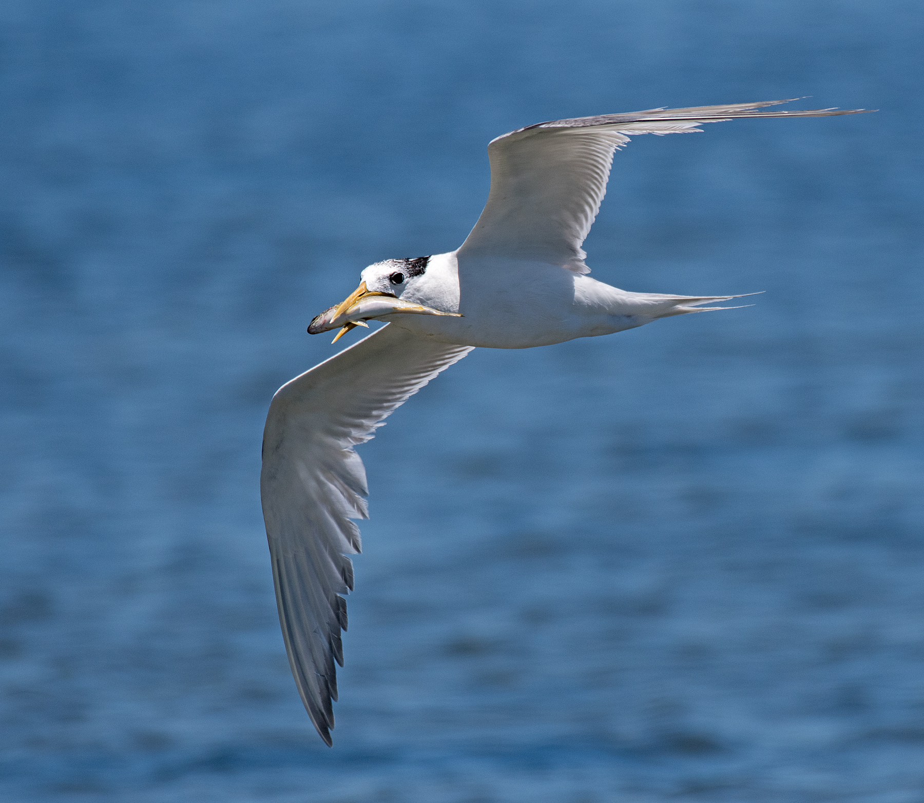Greater Crested Tern (Image ID 44711)