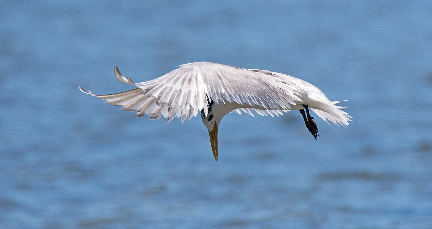 Greater Crested Tern (Image ID 44709)