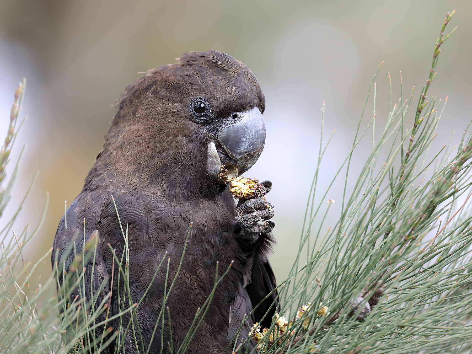 Glossy Black-Cockatoo (Image ID 44951)