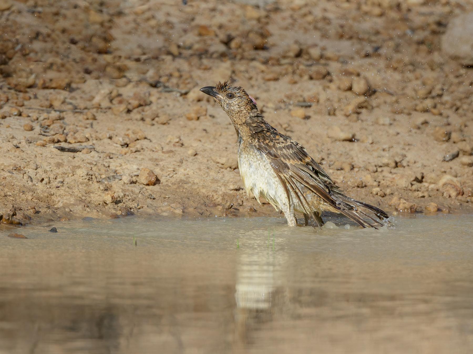 Spotted Bowerbird (Image ID 45015)