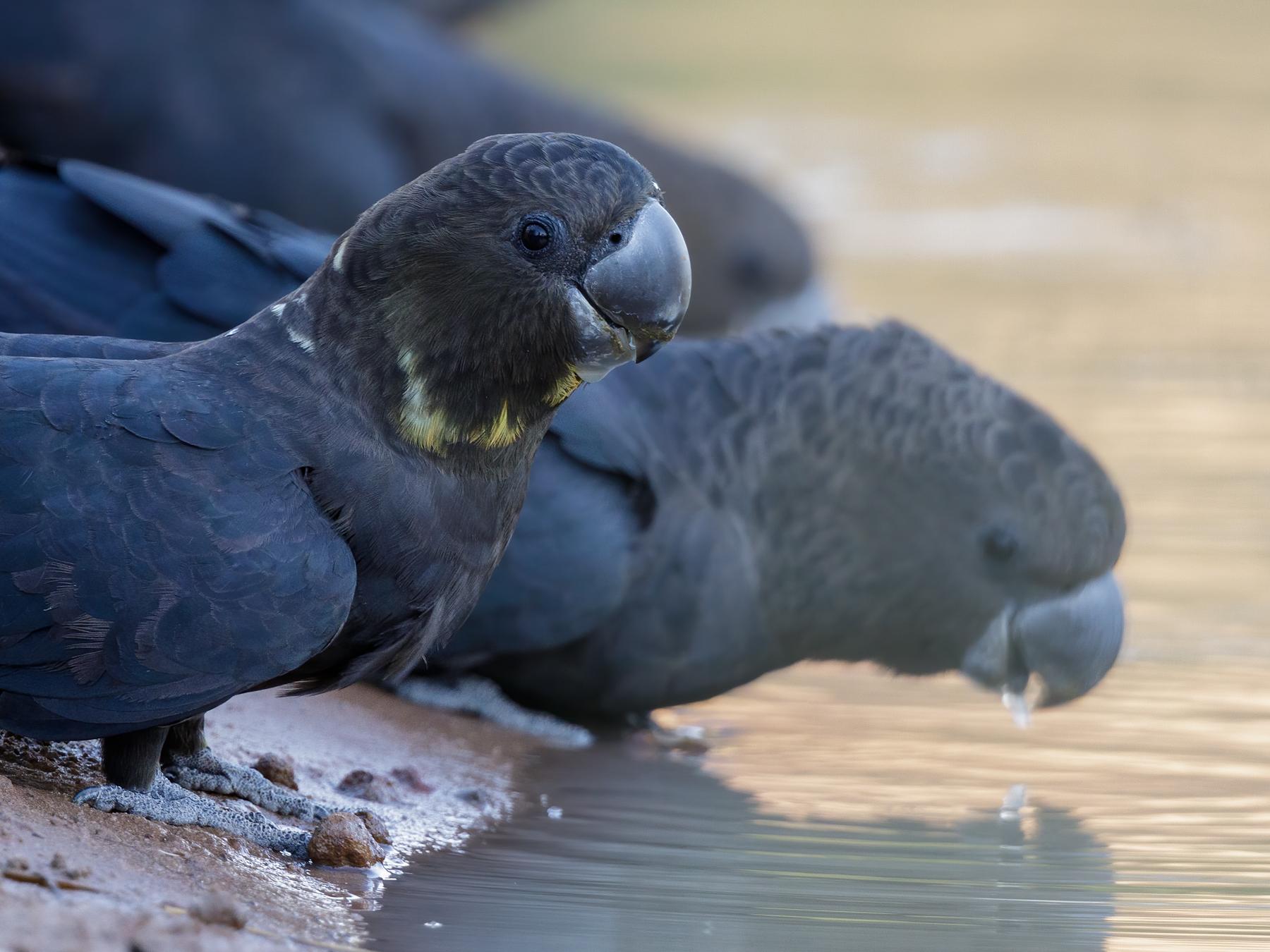 Glossy Black-Cockatoo (Image ID 44916)