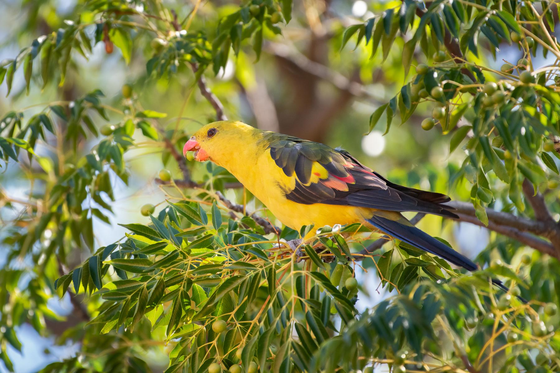 Regent Parrot (Image ID 44672)