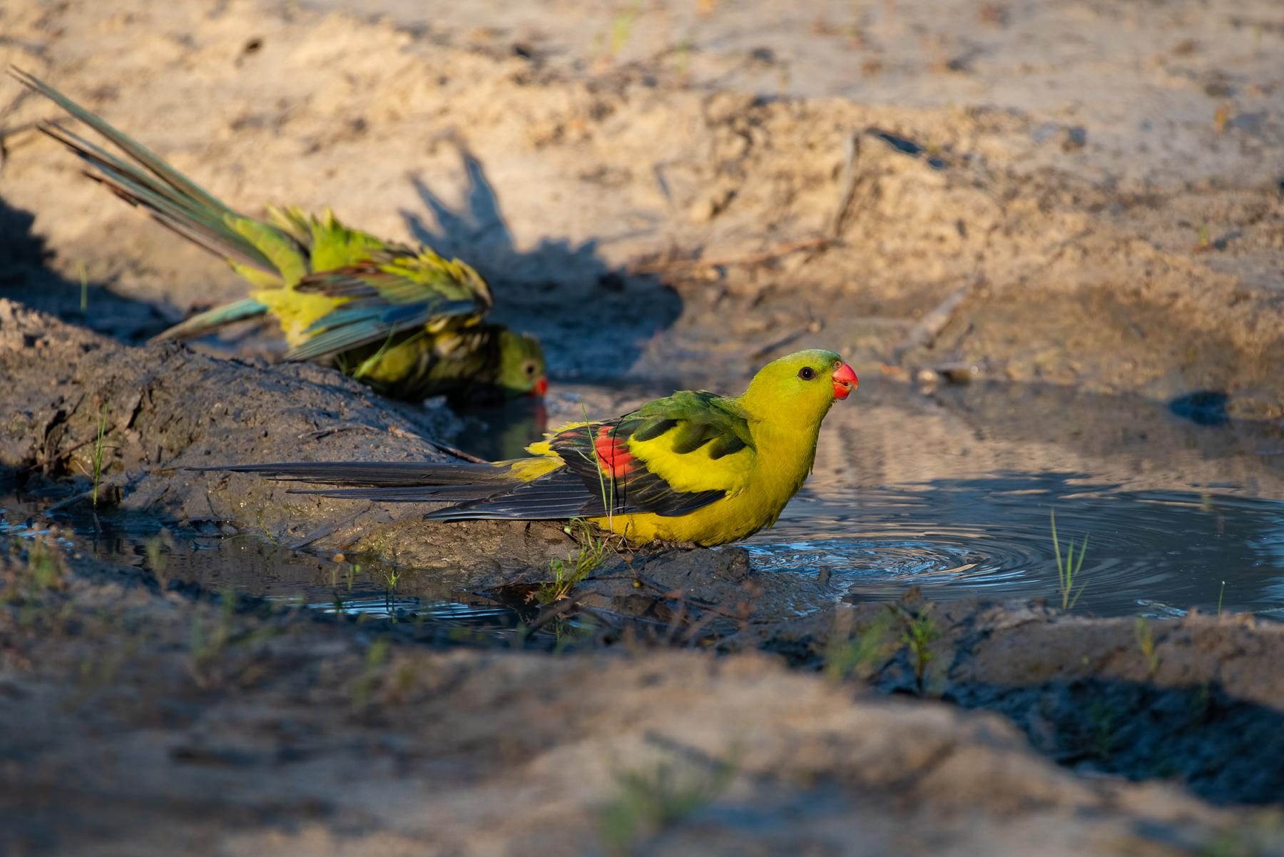 Regent Parrot (Image ID 44752)