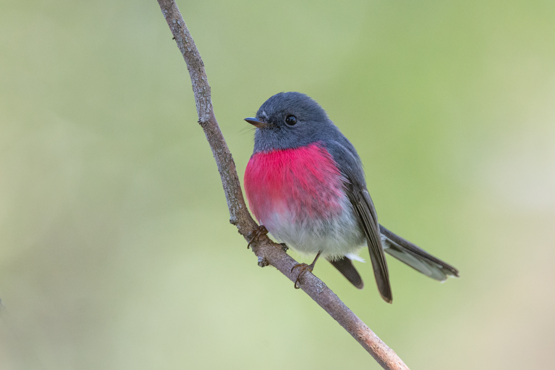 Rose Robin (Image ID 44552)