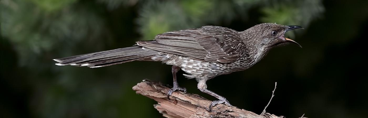 Little Wattlebird (Image ID 44807)