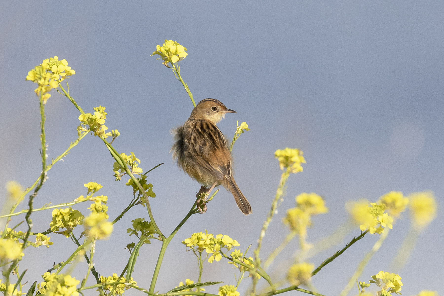 Golden-headed Cisticola (Image ID 44588)