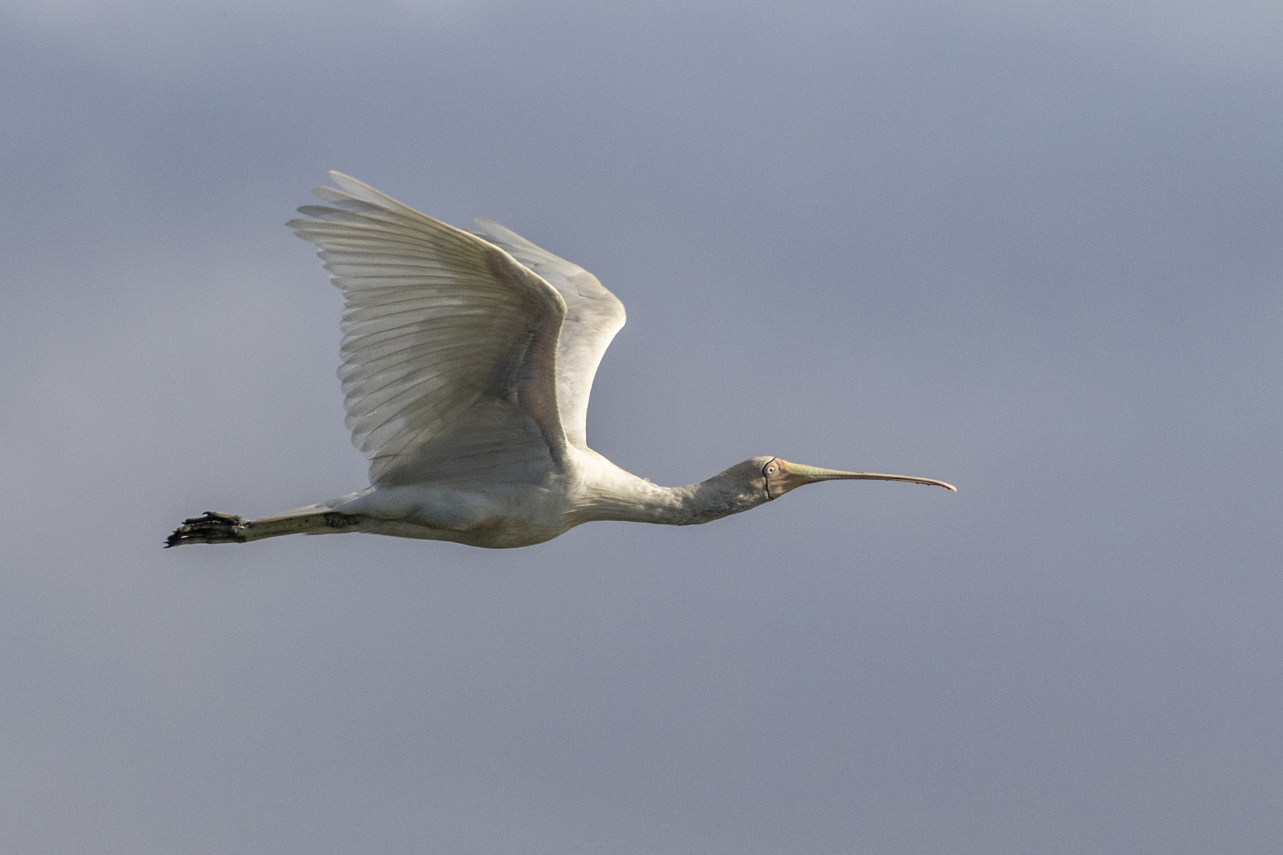 Yellow-billed Spoonbill (Image ID 44589)