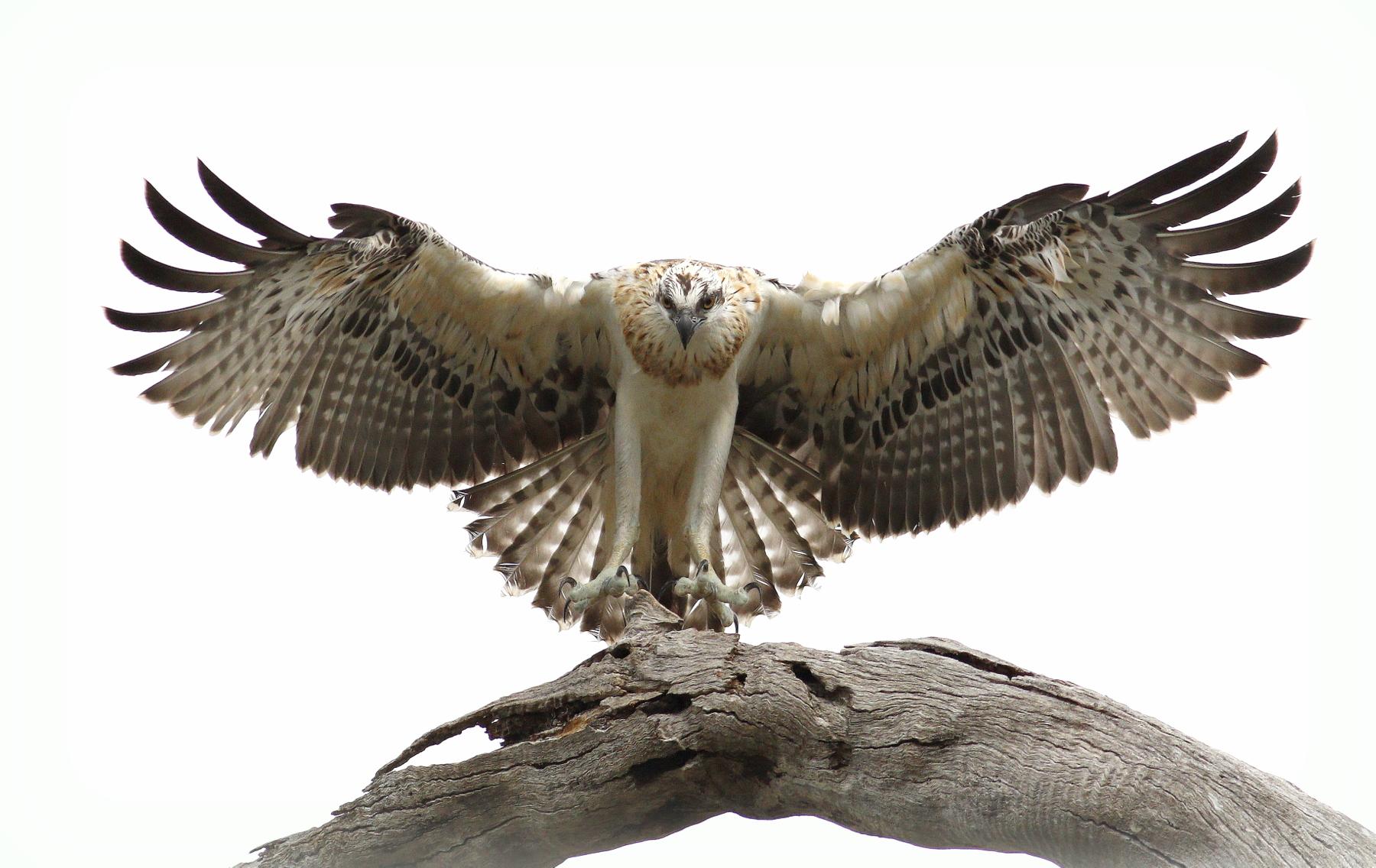Osprey (Image ID 44937)