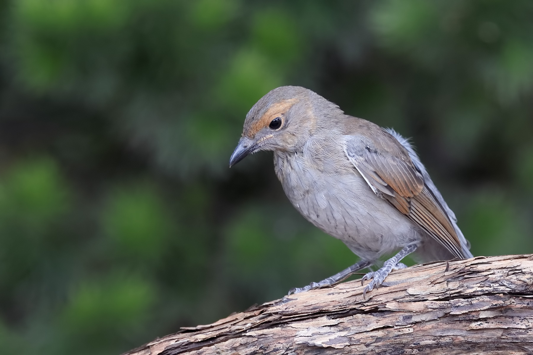 Grey Shrike-thrush (Image ID 44940)