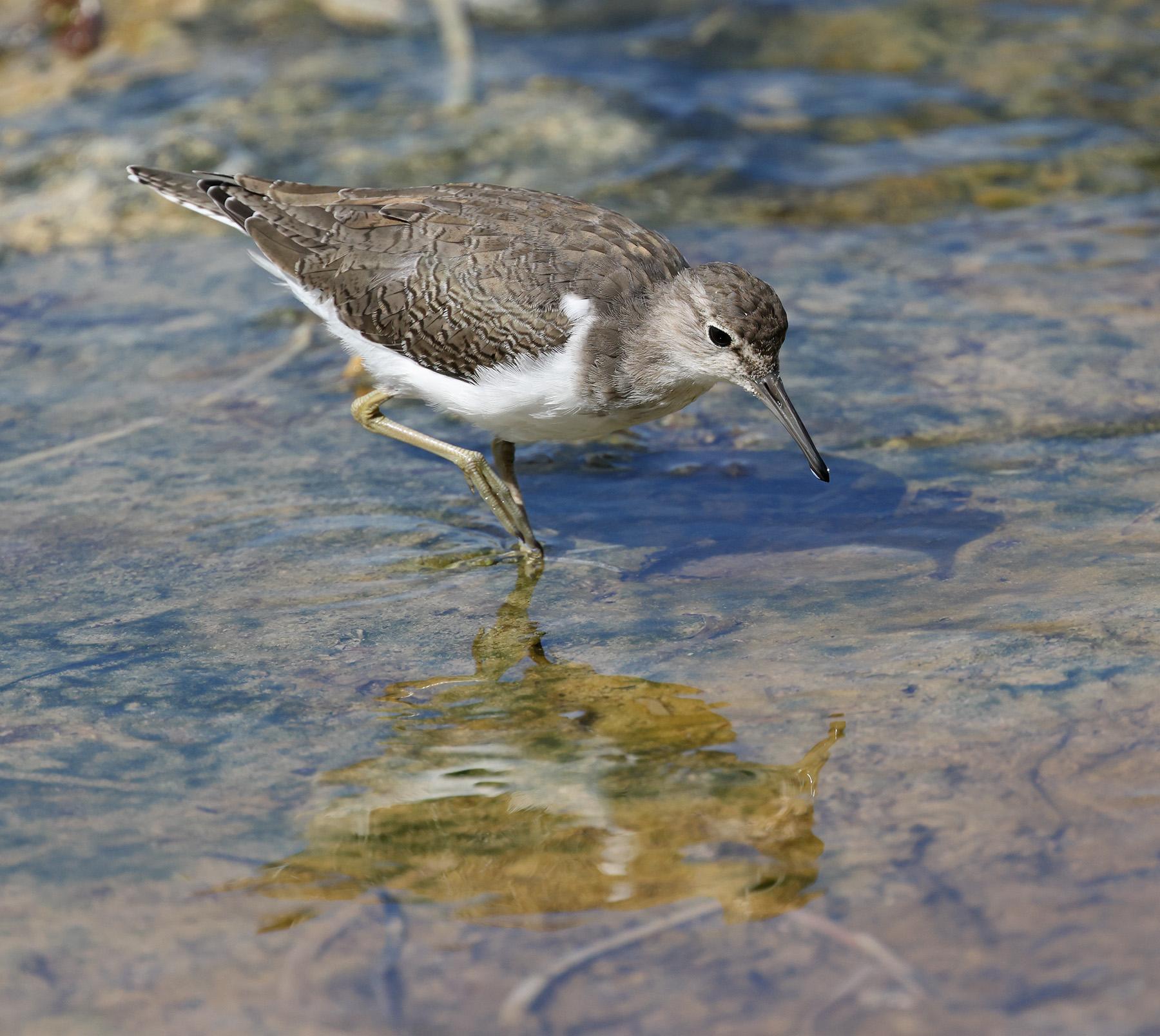 Common Sandpiper (Image ID 44745)