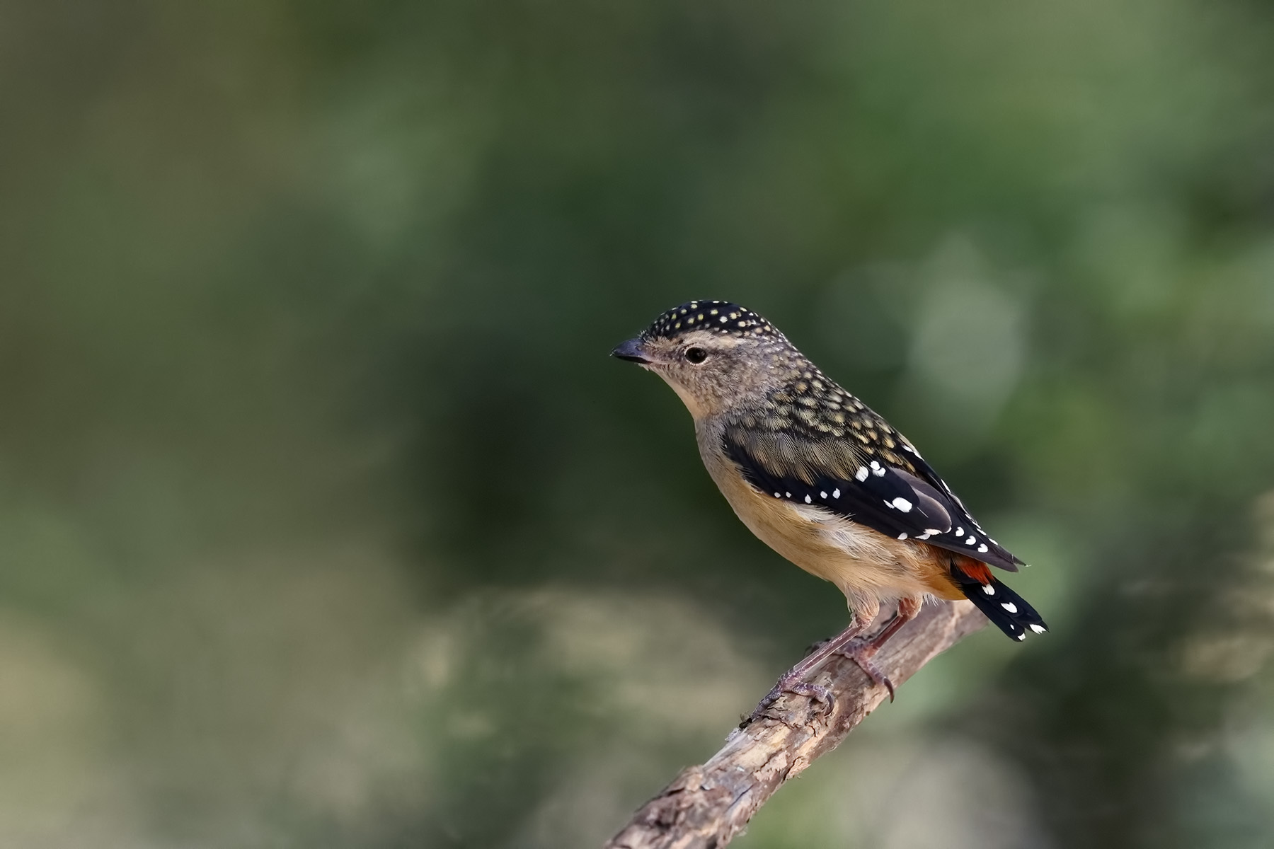 Spotted Pardalote (Image ID 44772)