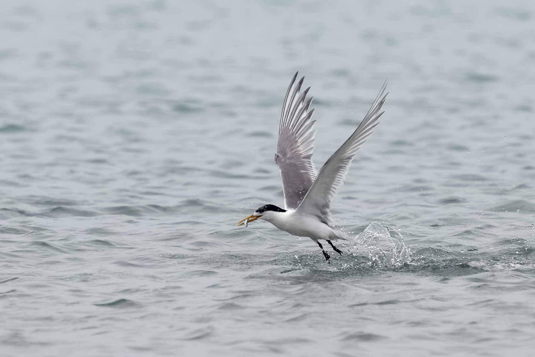 Greater Crested Tern (Image ID 44680)
