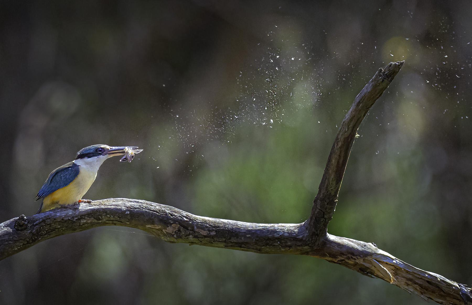 Sacred Kingfisher (Image ID 44991)