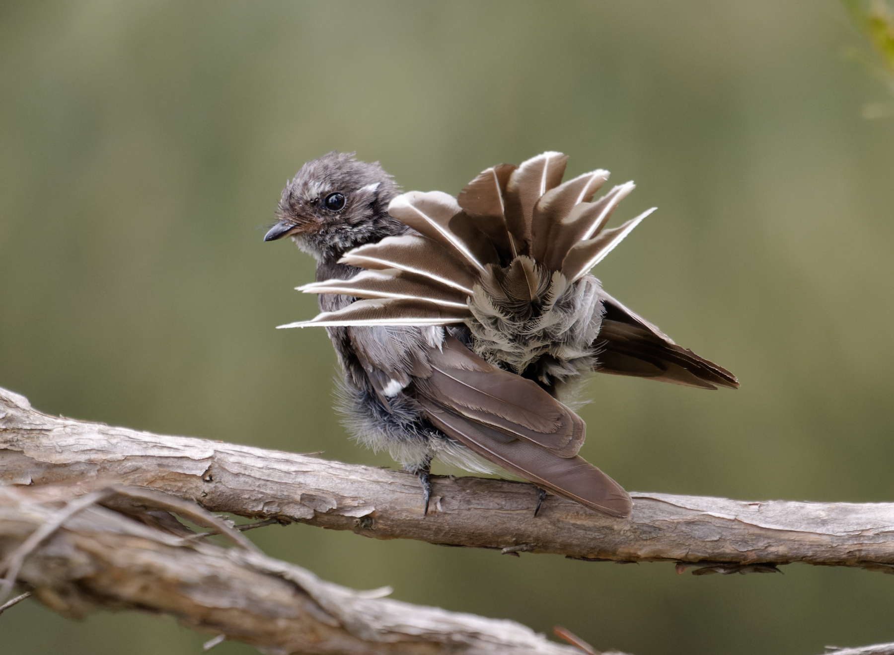 Grey Fantail (Image ID 44617)