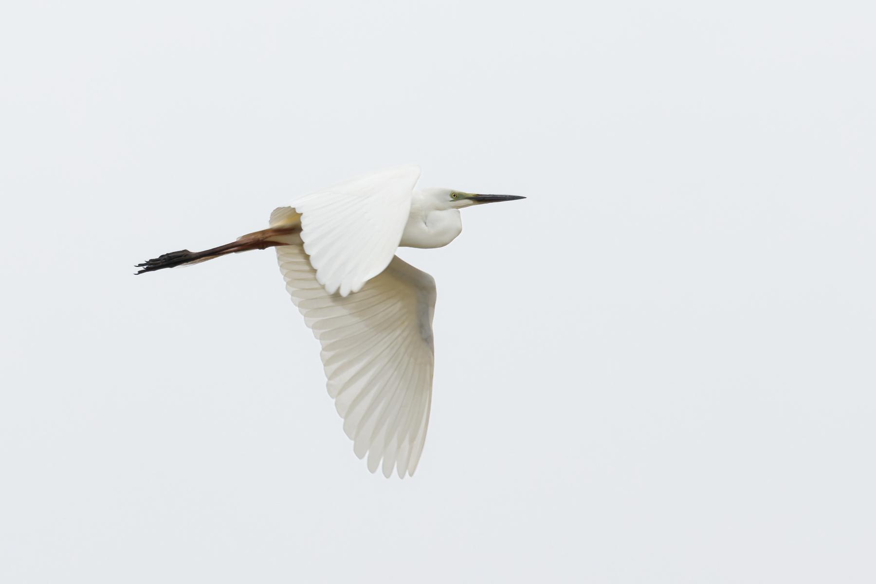 Great Egret (Image ID 44555)