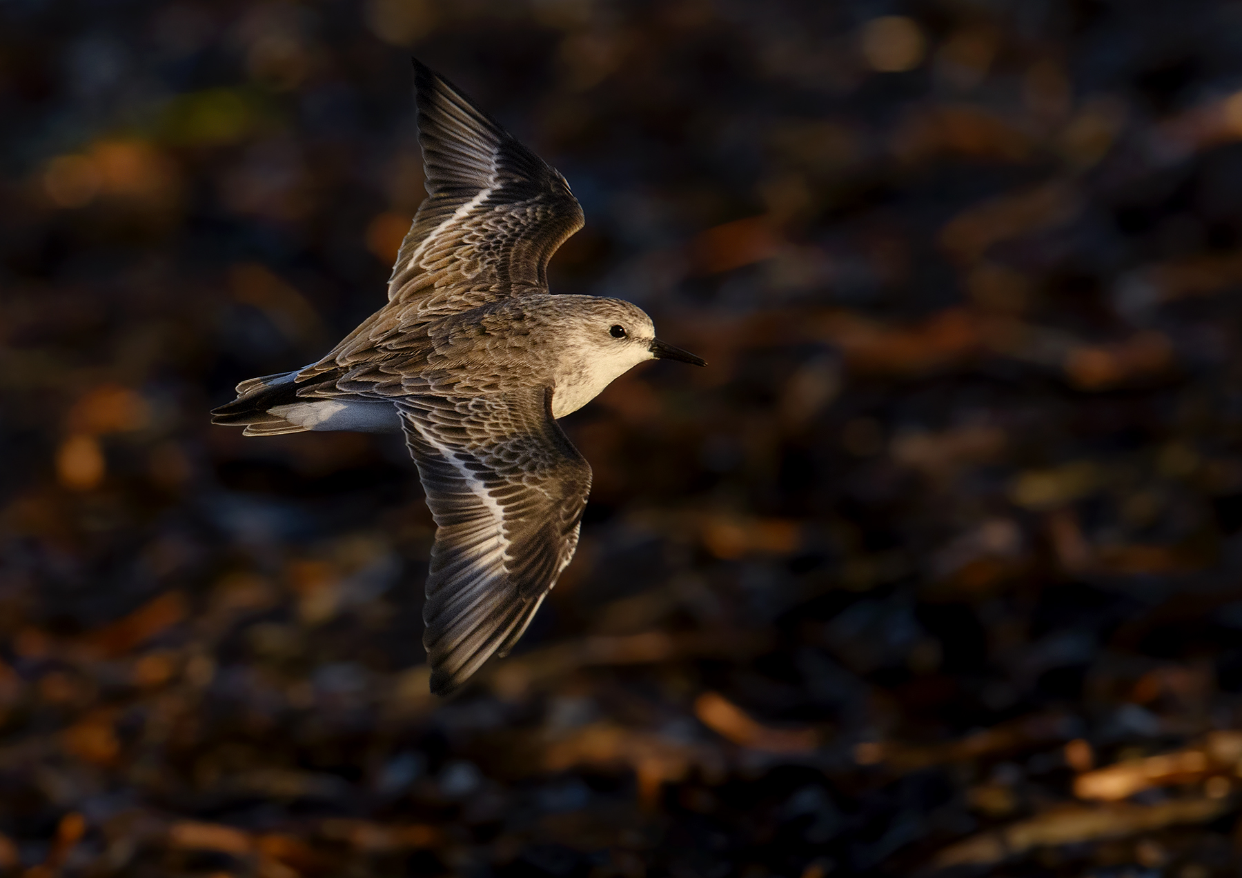 Red-necked Stint (Image ID 45033)