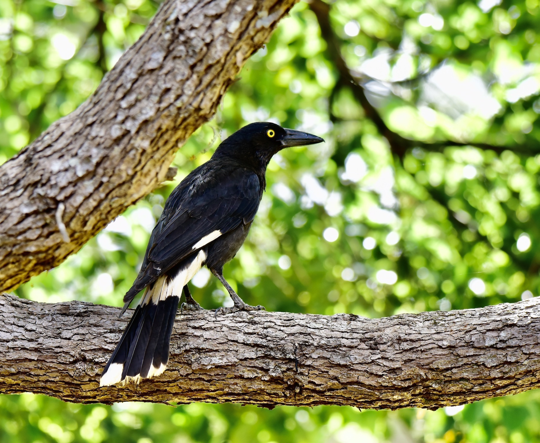 Pied Currawong (Image ID 45023)