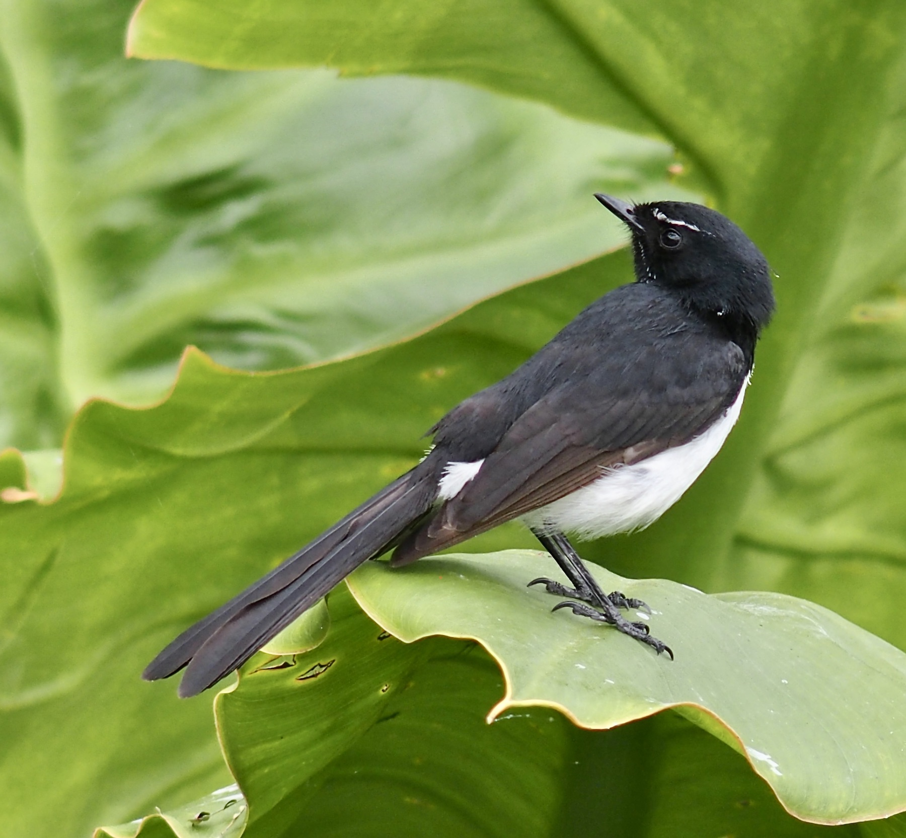 Willie Wagtail (Image ID 44896)