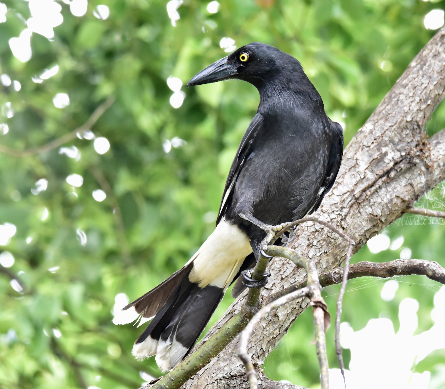 Pied Currawong (Image ID 45027)