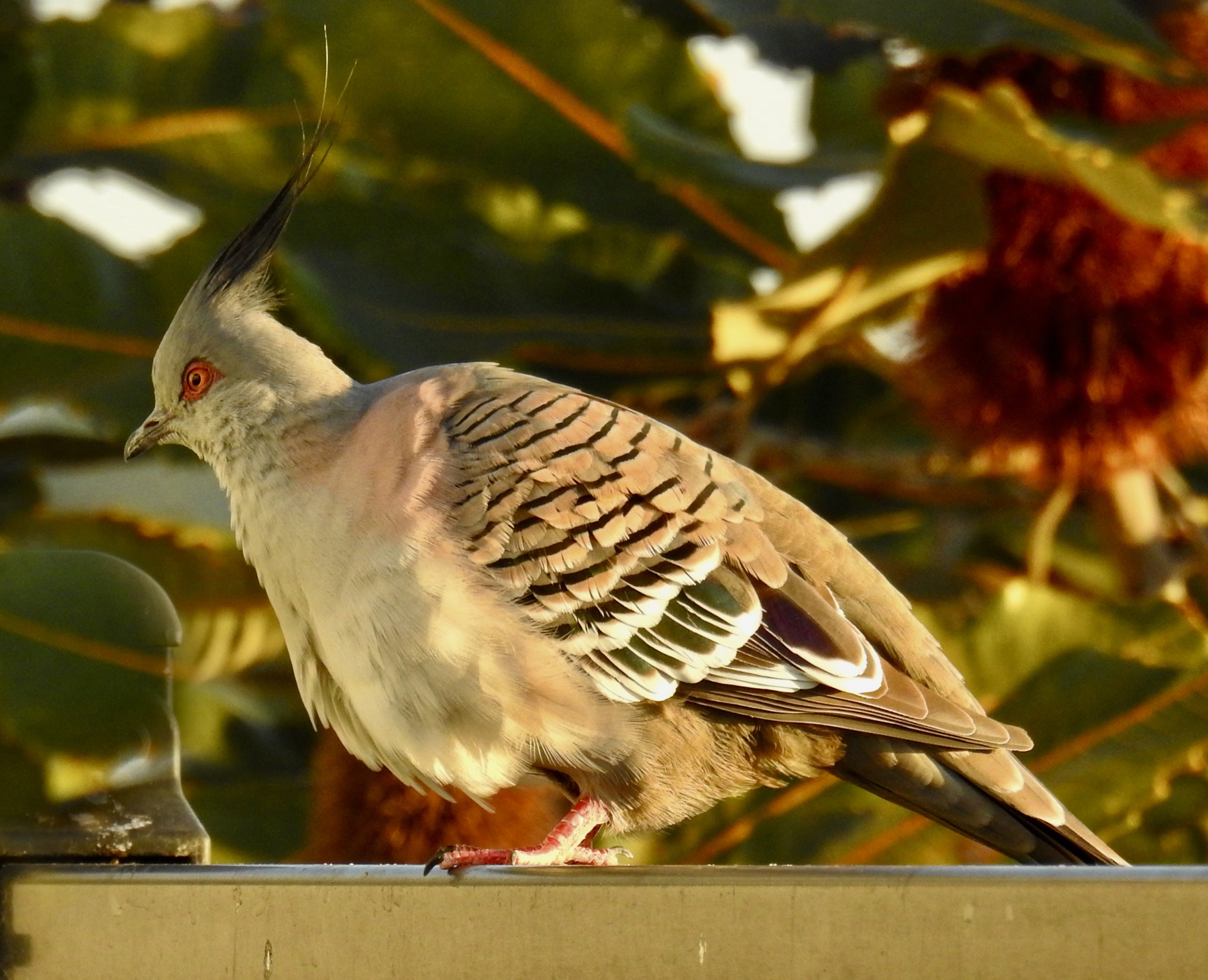 Crested Pigeon (Image ID 44852)