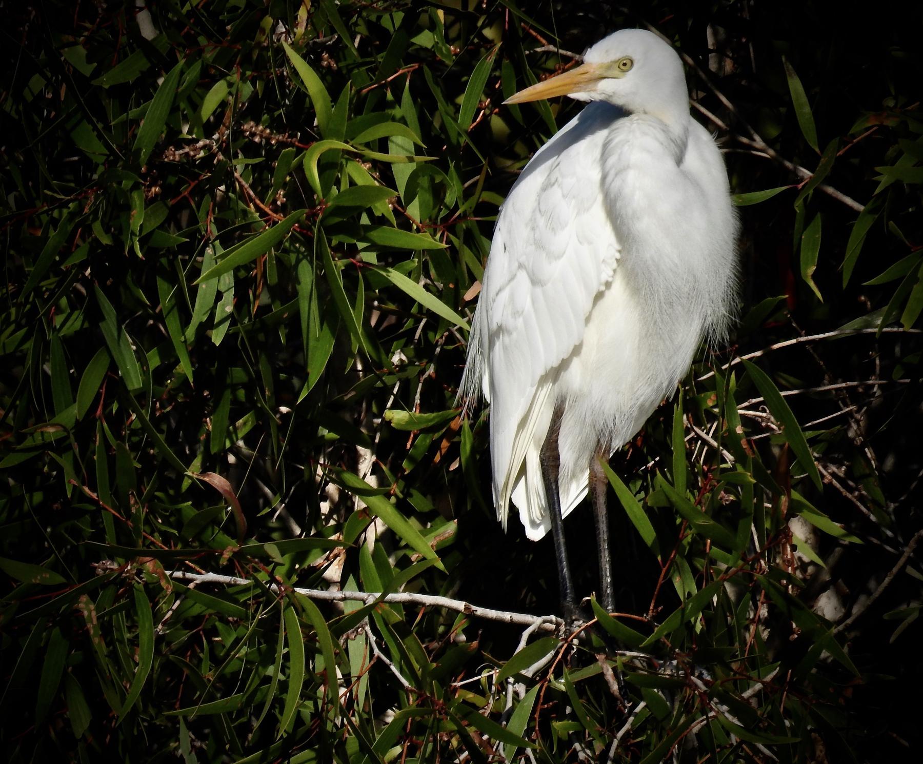 Plumed Egret (Image ID 44808)