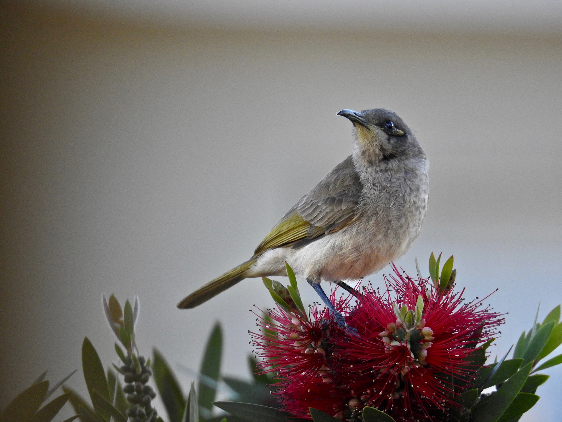 Brown Honeyeater (Image ID 44798)