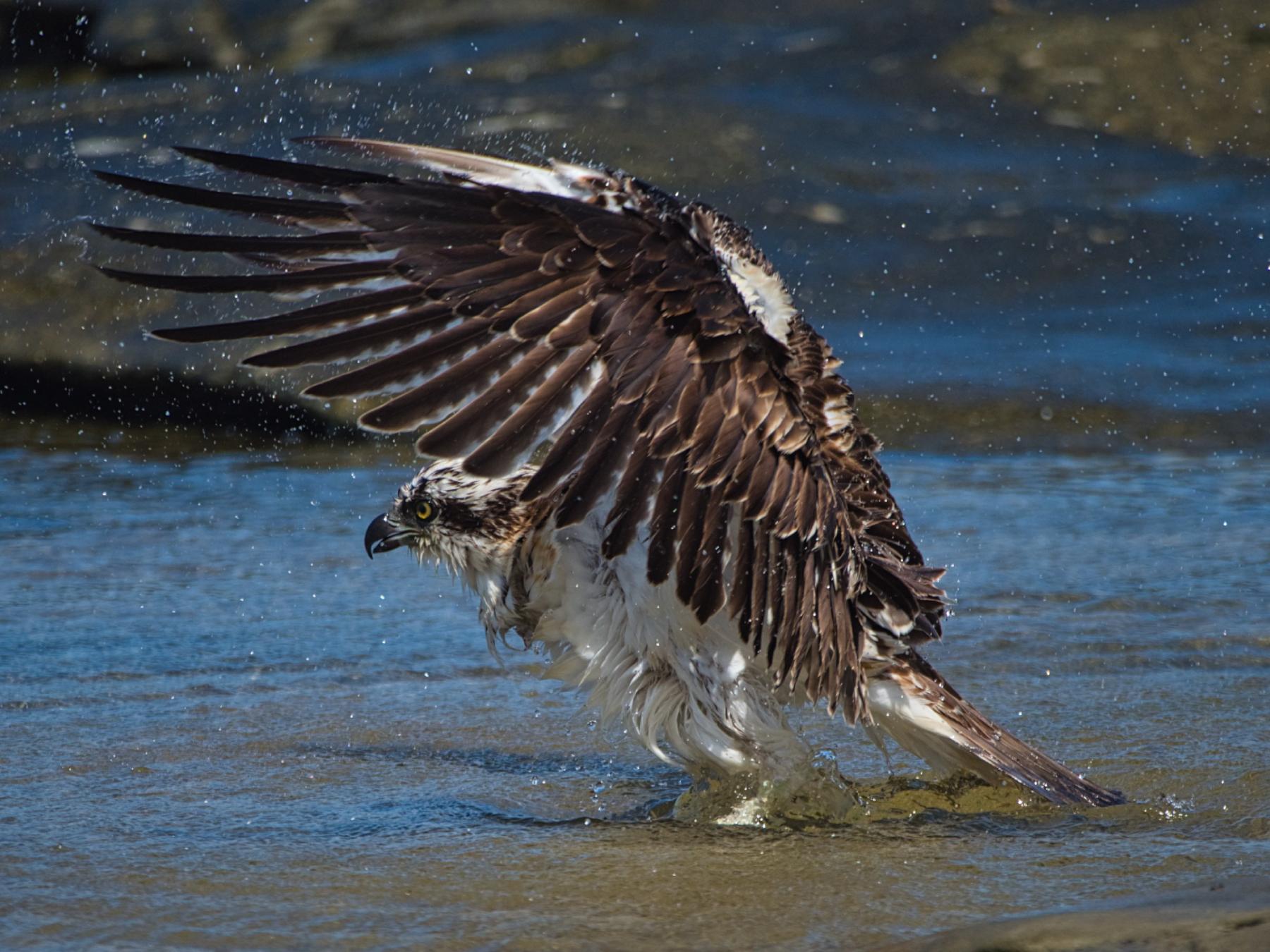 Osprey (Image ID 44728)