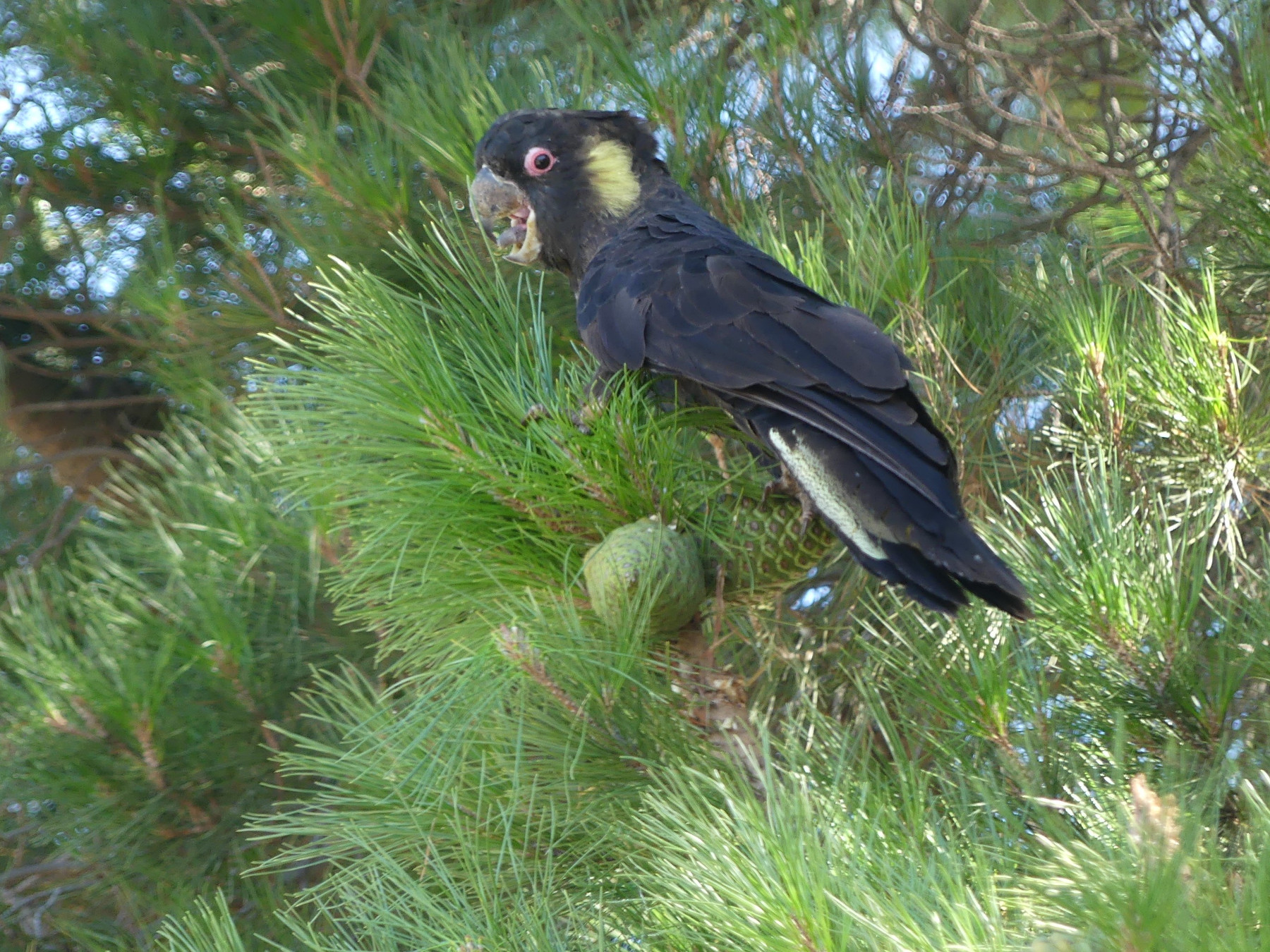 Yellow-tailed Black-Cockatoo (Image ID 44833)