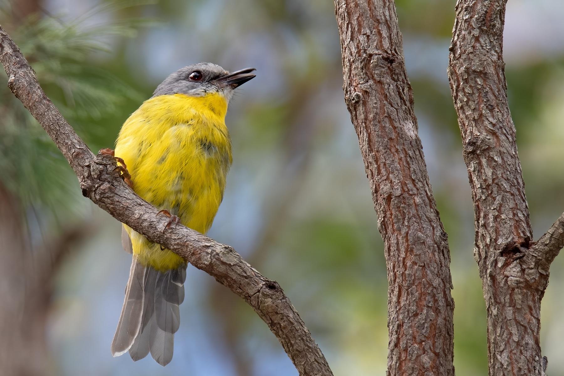 Eastern Yellow Robin (Image ID 44966)