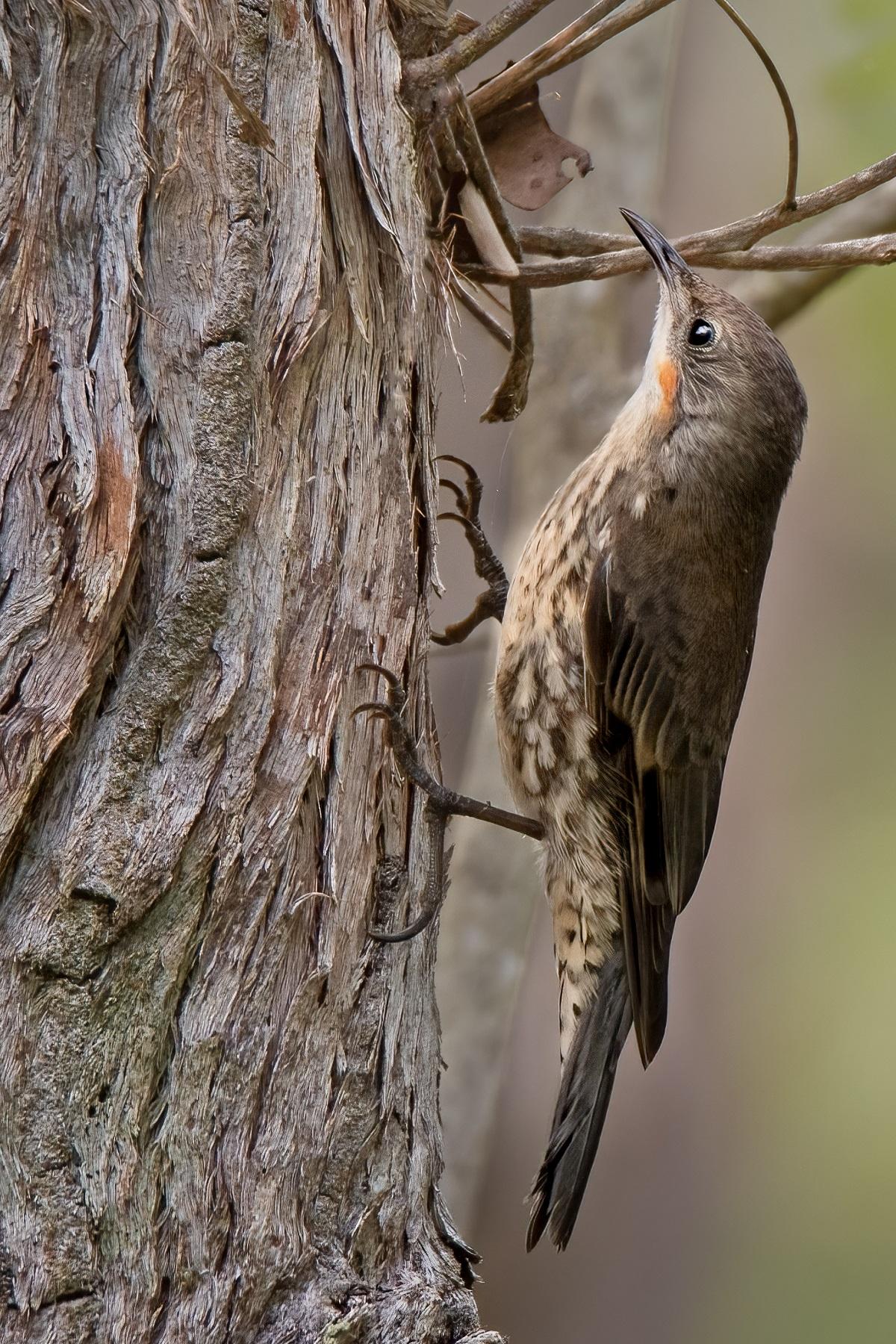 White-throated Treecreeper (Image ID 44965)