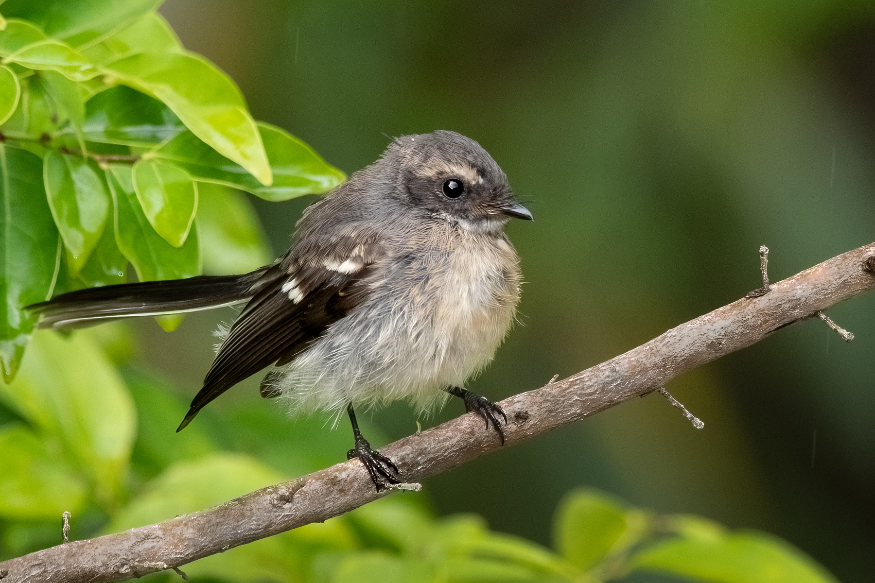 Grey Fantail (Image ID 44988)