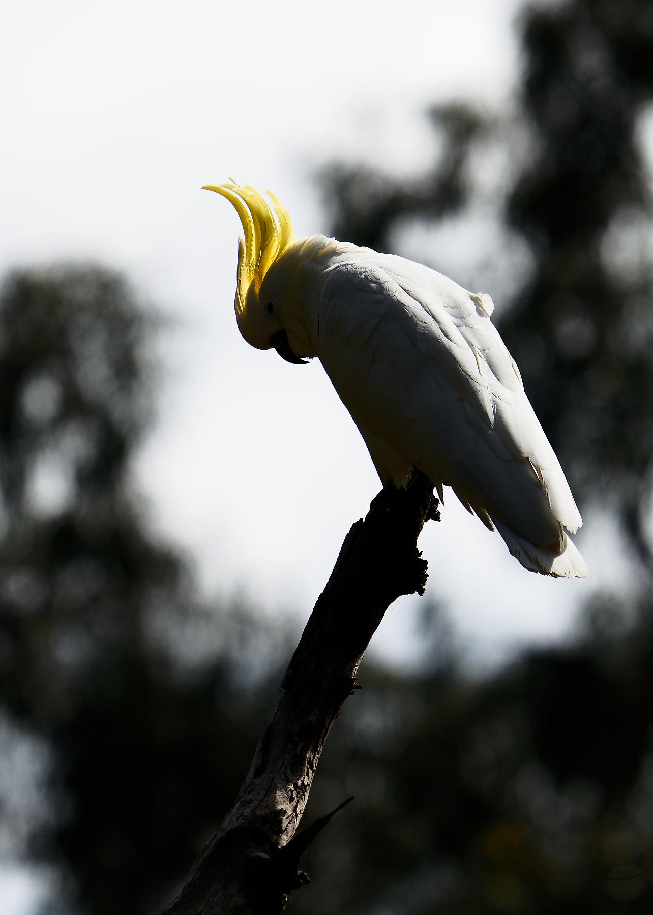 Sulphur-crested Cockatoo (Image ID 44954)