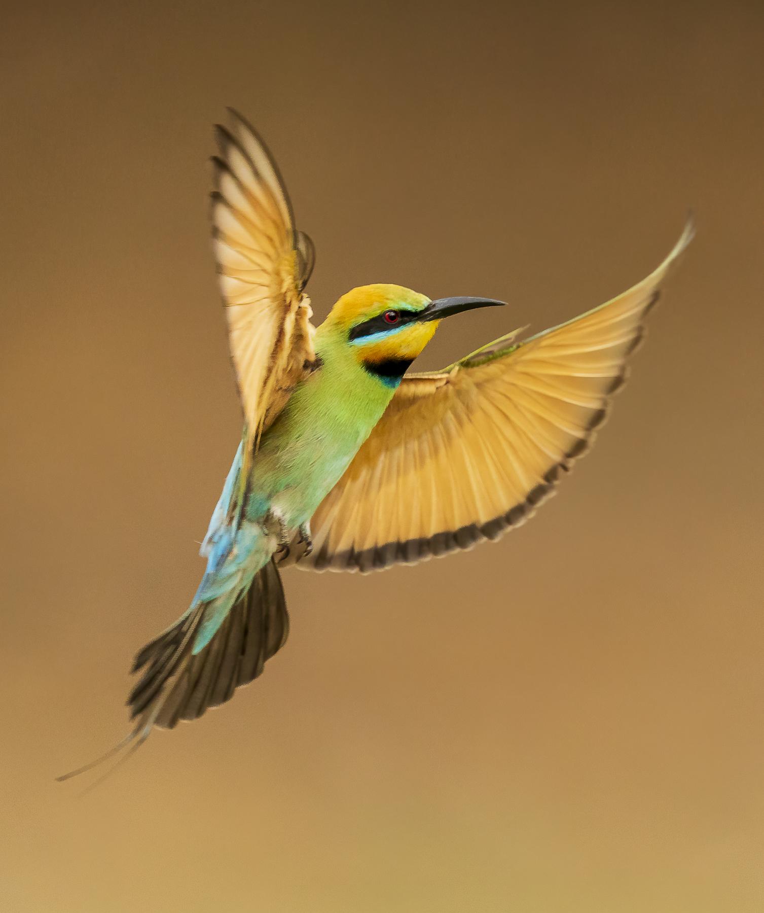 Rainbow Bee-eater (Image ID 44882)