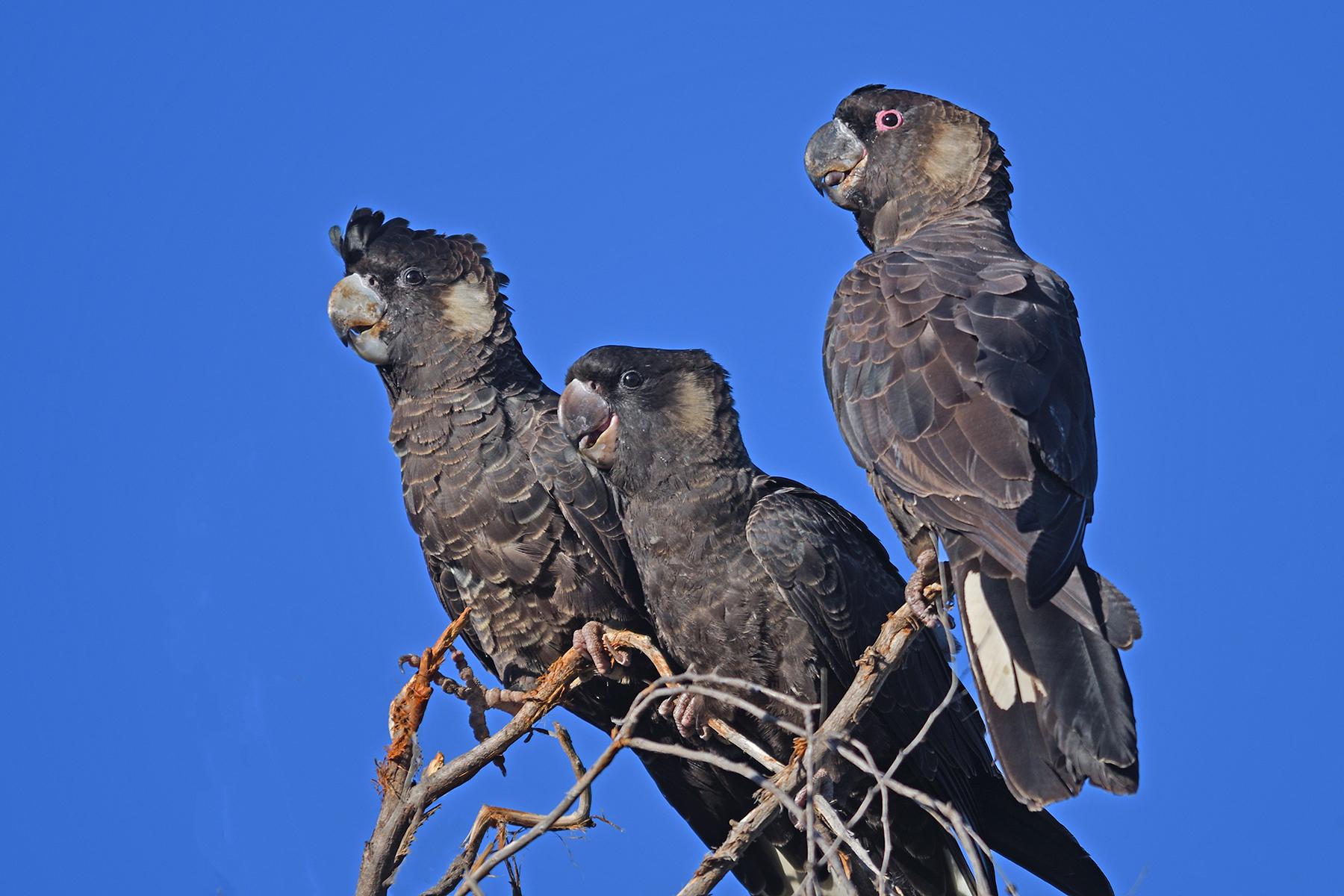 Carnaby's Black-Cockatoo (Image ID 44791)