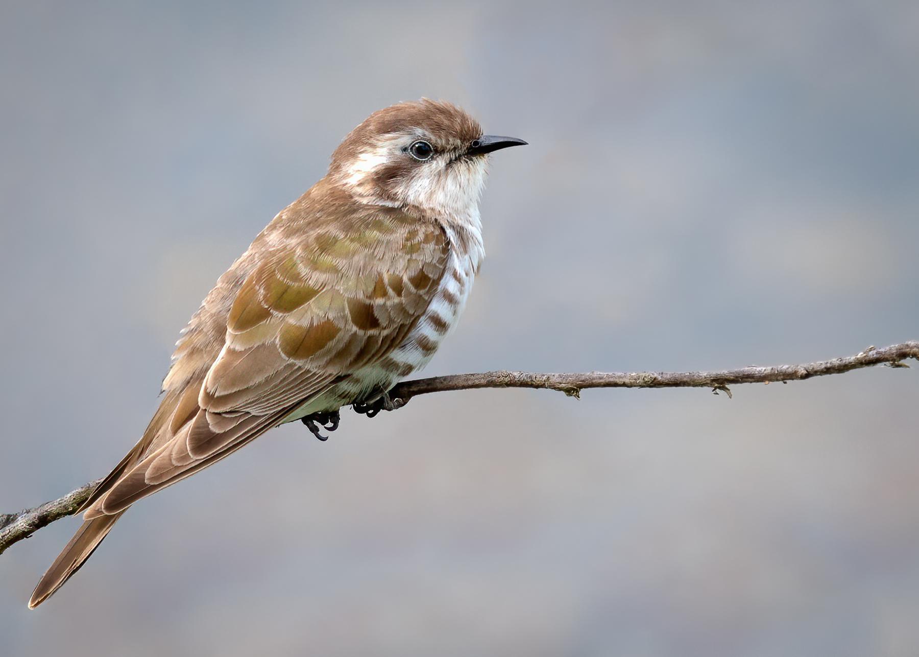 Horsfield's Bronze-Cuckoo (Image ID 44708)