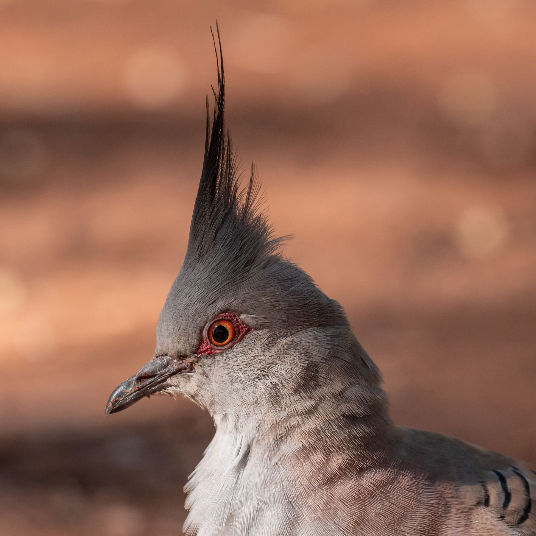 Crested Pigeon (Image ID 44768)