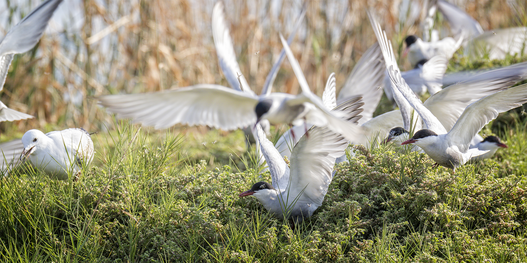 Whiskered Tern (Image ID 44611)