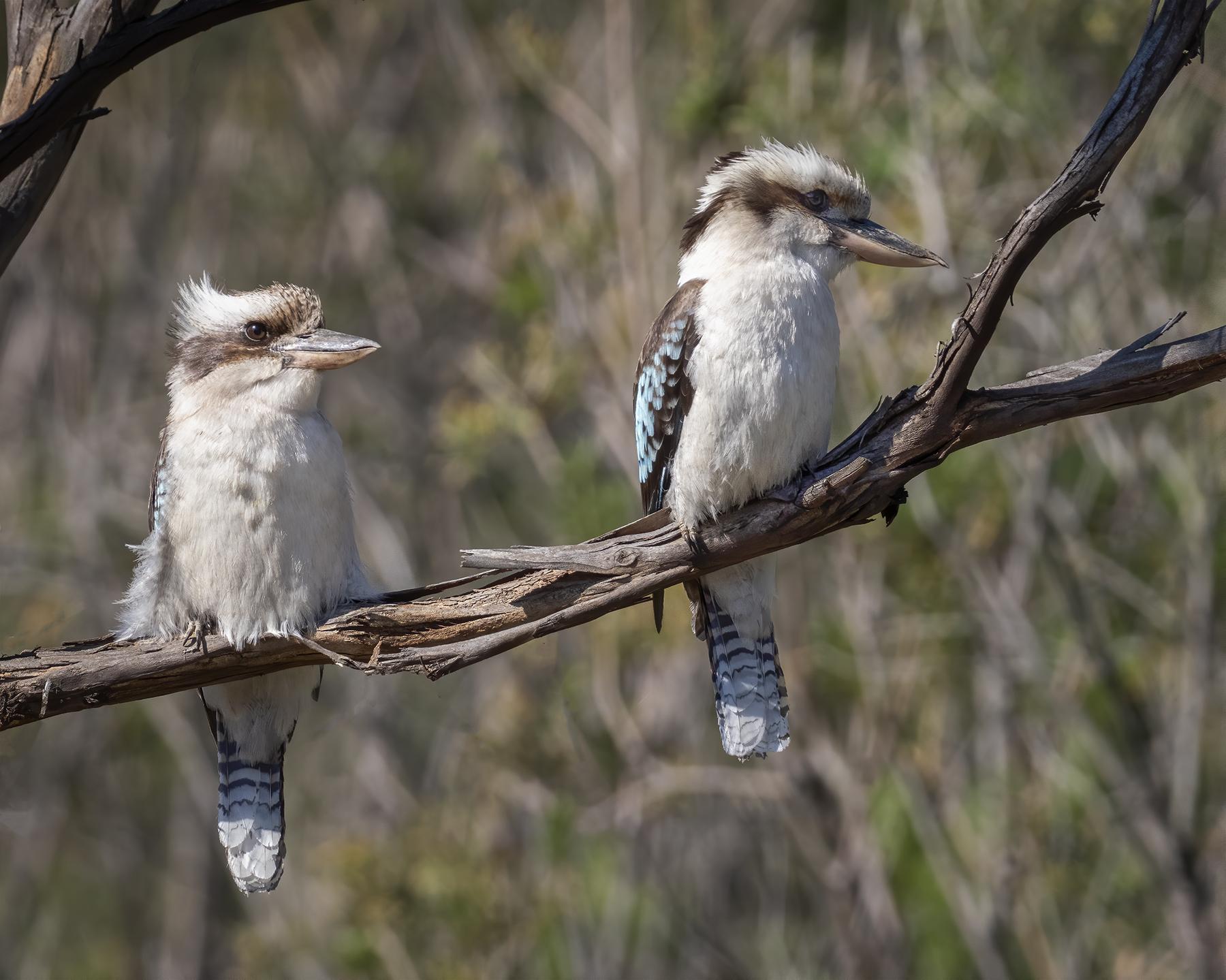 Laughing Kookaburra (Image ID 44968)