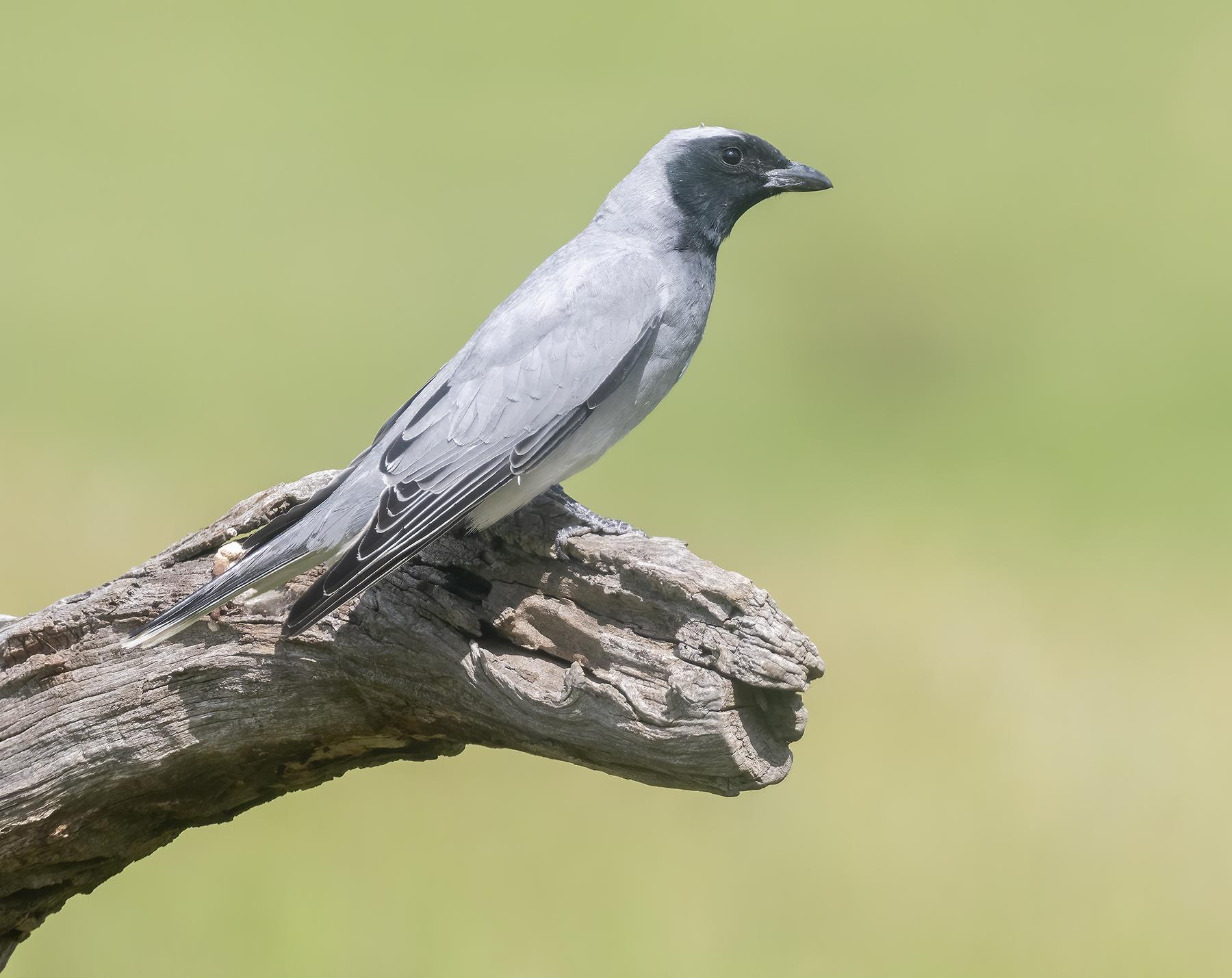 Black-faced Cuckoo-shrike (Image ID 44682)