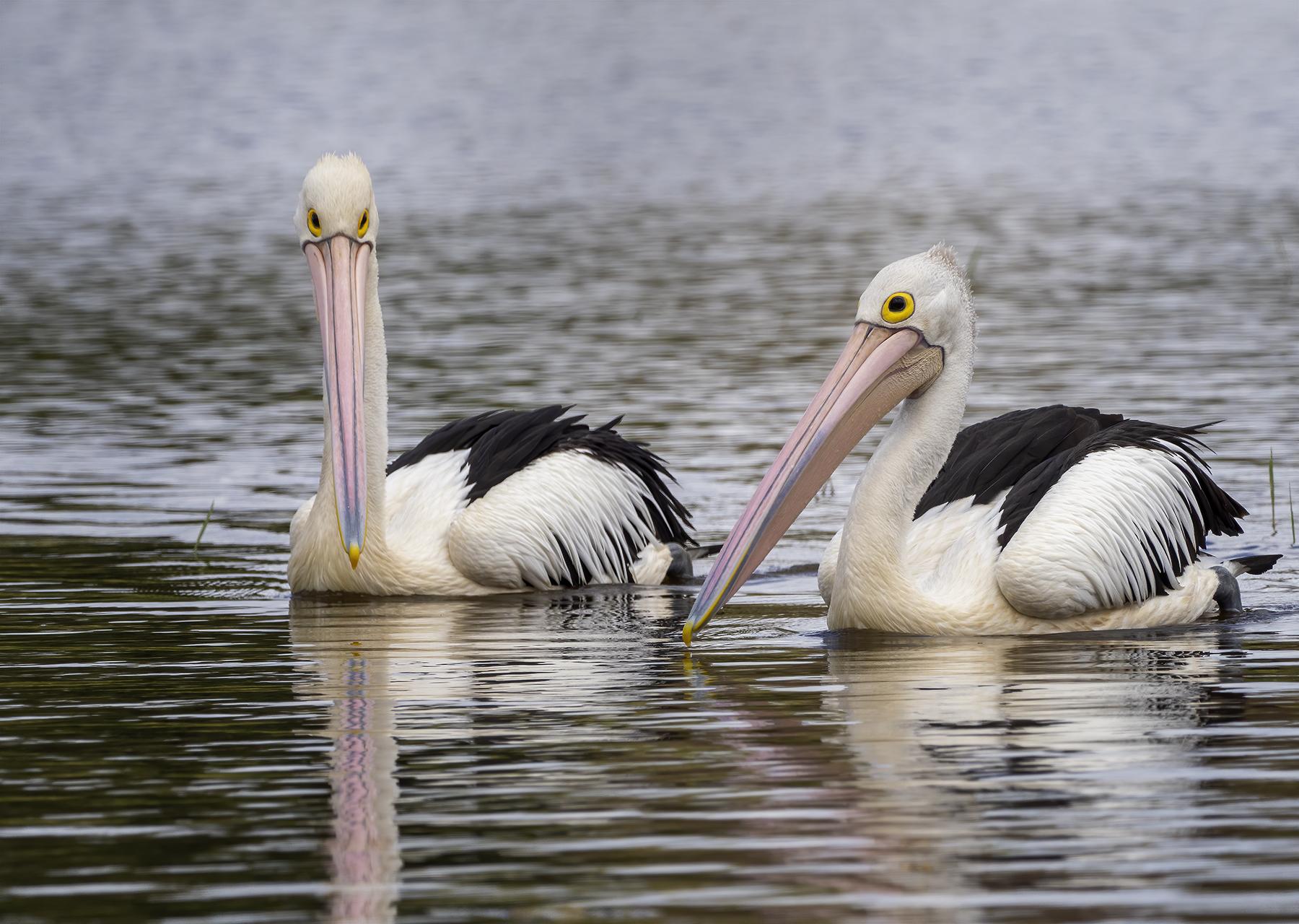 Australian Pelican (Image ID 44843)