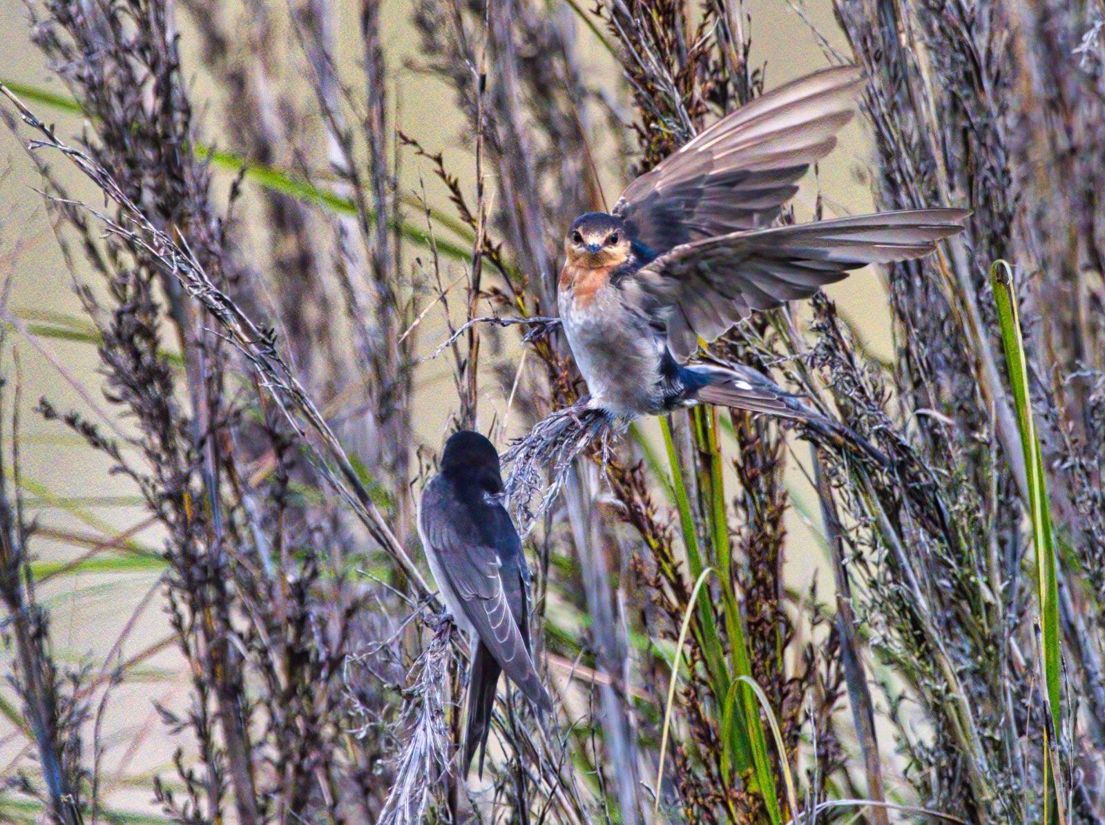 Welcome Swallow (Image ID 44624)