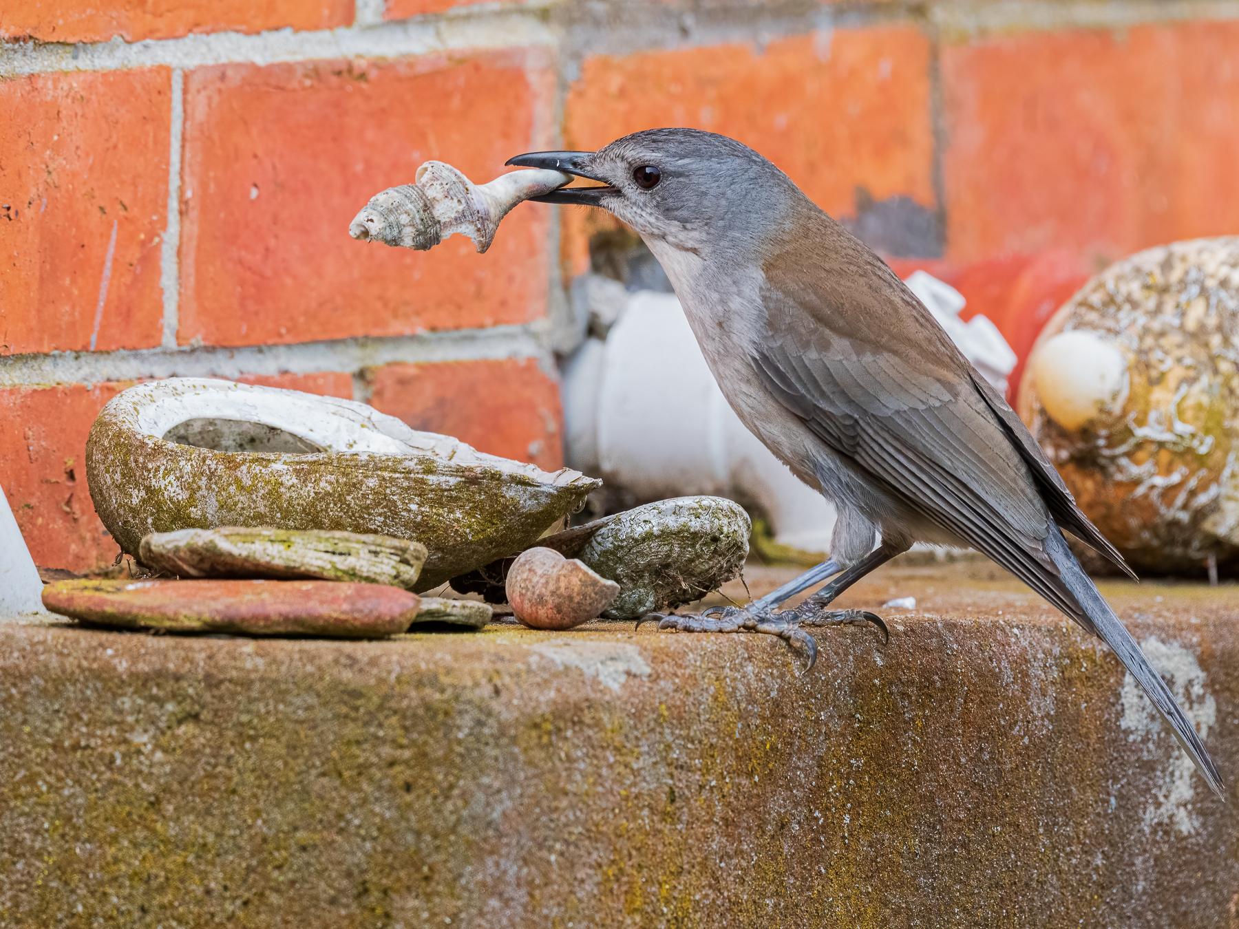 Grey Shrike-thrush (Image ID 44996)
