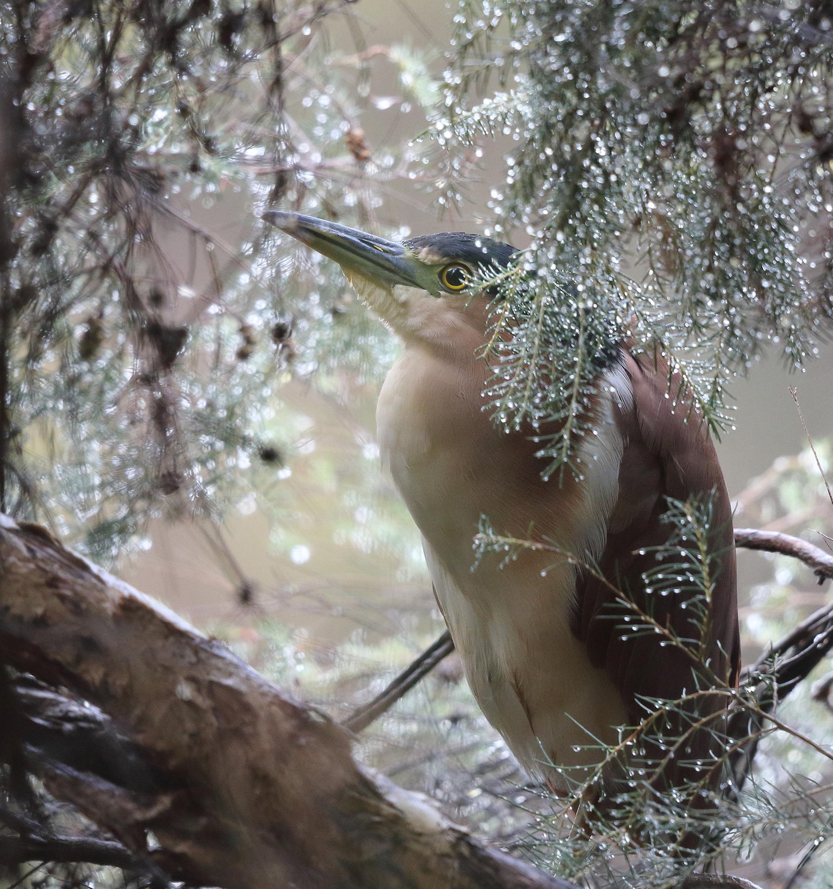 Nankeen Night-Heron (Image ID 44773)