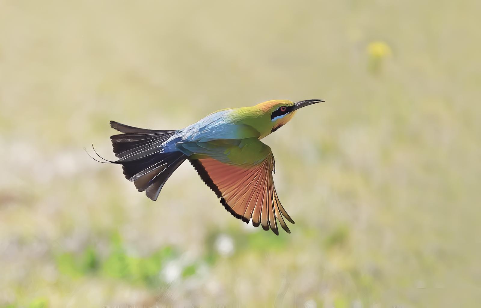 Rainbow Bee-eater (Image ID 44797)